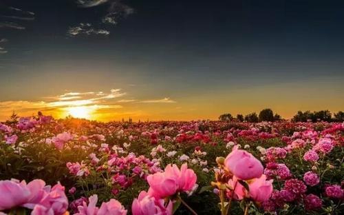 最美的玫瑰花